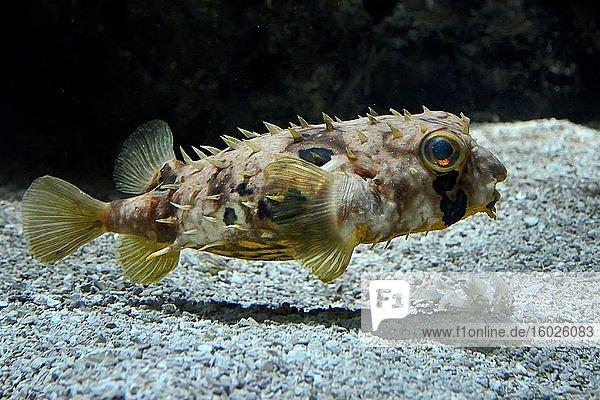 Myer's Igelfisch (Dicotylichthys punctulatus)  captive