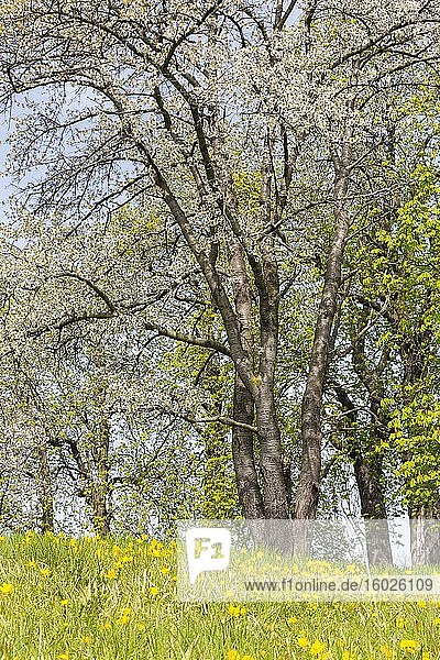 Wilde Tulpen (Tulipa sylvestris) in Blüte  im Hintergrund Obstbäume in Blüte  Meißen  Sachsen  Deutschland  Europa
