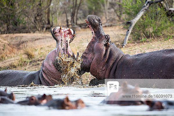 Zwei Flusspferde  Hippopotamus amphibius  öffnen ihr Maul  während sie im Wasser kämpfen  Zähne und Blut sind sichtbar
