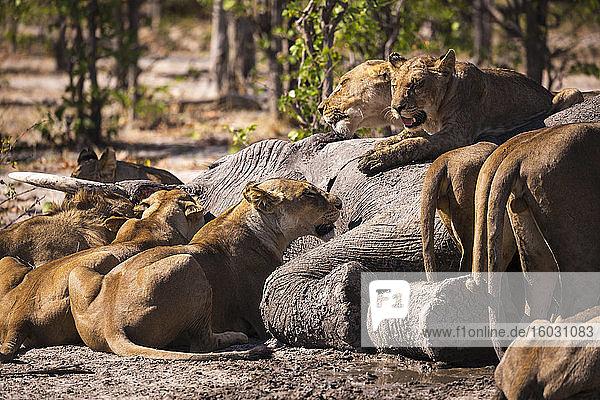 Eine Gruppe weiblicher Löwen  die sich von einem toten Elefanten in einem Wildreservat ernähren.
