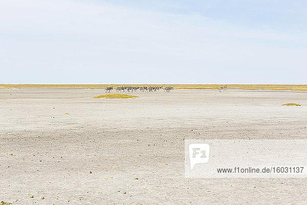 Burchell's Zebra  eine kleine Gruppe von Tieren in der Kalahari-Wüste