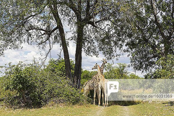 Ein Giraffenpaar unter Bäumen  Moremi Game Reserve  Botswana