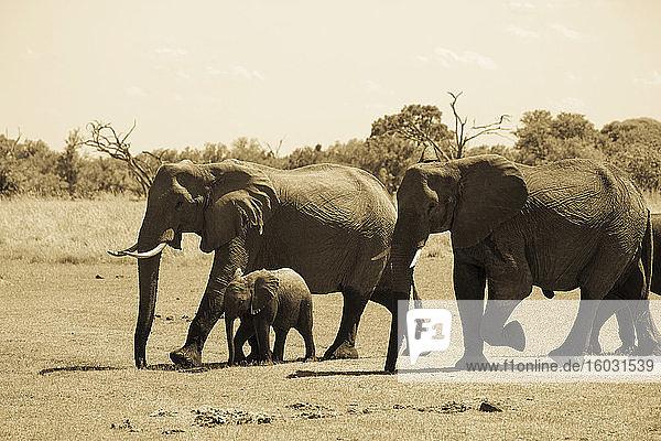 Elefantenherde sammelt sich am Wasserloch  Moremi Game Reserve  Botswana