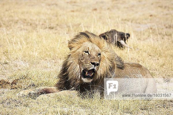 Männlicher Löwe und totes Gnu  Kalahari-Wüste