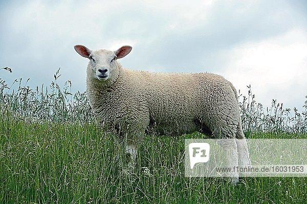 Ungeschorenes Hausschaf (Ovis gmelini aries) steht im hohen Gras auf einem Deich  Schleswig-Holstein  Deutschland  Europa