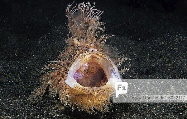 Zottiger Anglerfisch (Antennarius hispidus) auf Sandgrund  offenes Maul  Lembeh Strait  Indopazifik  Indonesien  Asien