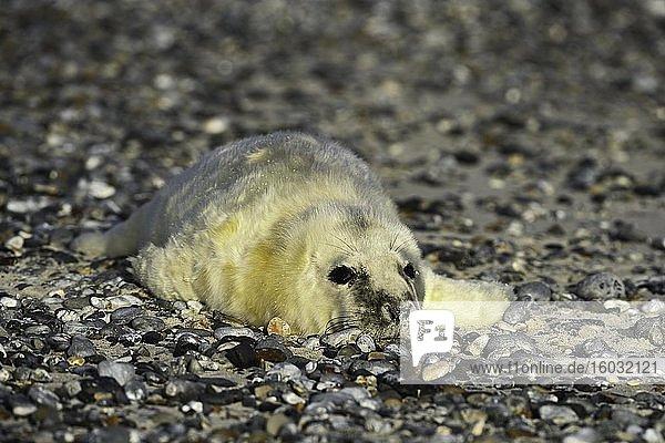Kegelrobbe (Halichoerus grypus)  Jungtier liegt auf Kiesstrand  Helgoland  Nordsee  Deutschland  Europa