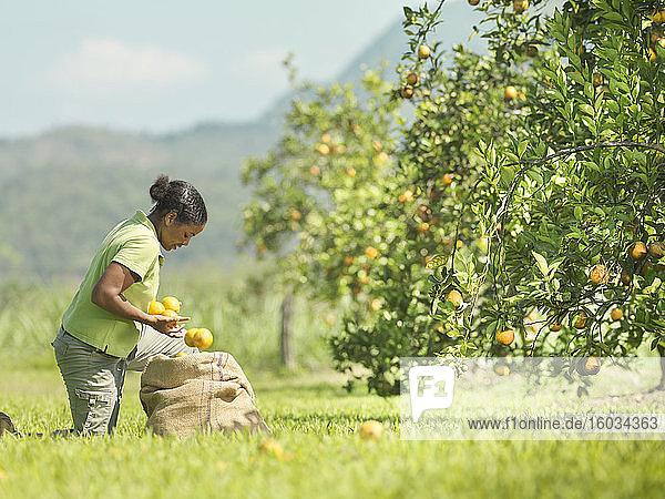 Frau pflückt Orangen im Orangenhain  Jamaika
