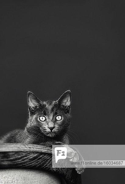 Porträt Chartreux-Katze mit großen Augen