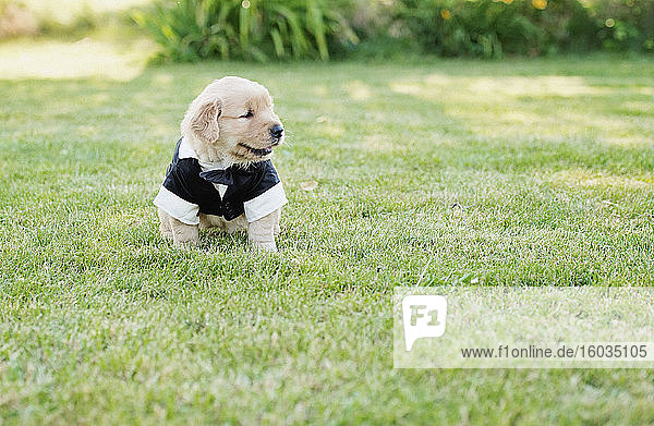 Cute Golden Retriever puppy dressed in groom costume in grass