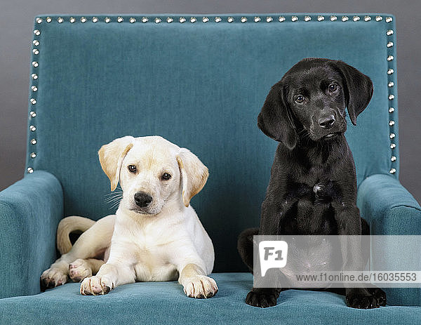 Portrait cute black and yellow puppies in teal blue armchair