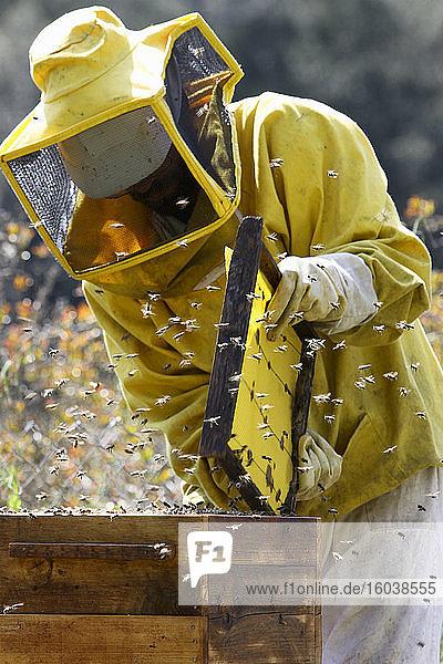 Imker inspiziert Bienenstock