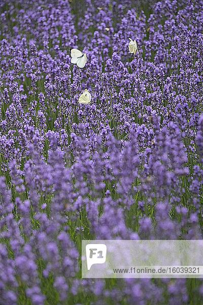 Weiße Schmetterlinge im Lavendelfeld