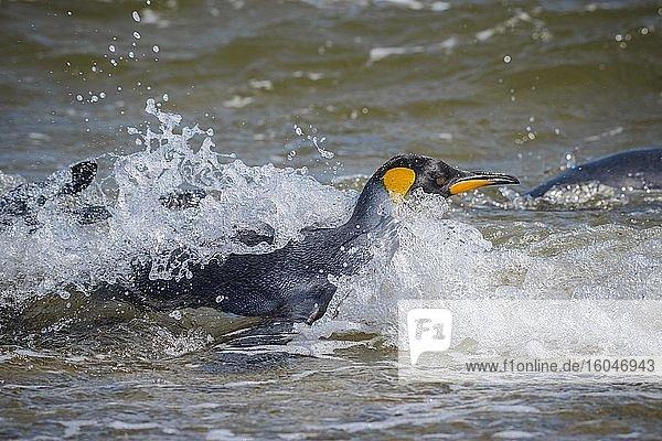 Königspinguin (Aptenodytes patagonicus) badet am Strand  Volunteer Point  Falkland Inseln