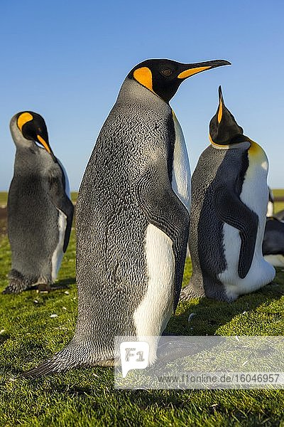 Königspinguine (Aptenodytes patagonicus)  Kolonie  Volunteer Point  Falkland Inseln