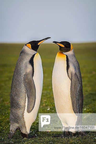 Königspinguine (Aptenodytes patagonicus) stehen auf Wiese  Volunteer Point  Falkland Inseln