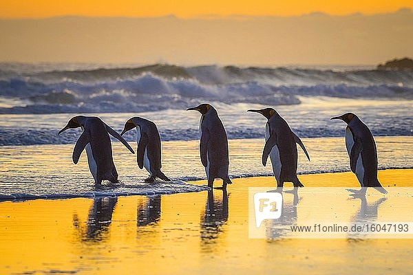 Königspinguine (Aptenodytes patagonicus)  Gruppe läuft ins Meer bei Sonnenaufgang  Volunteer Point  Falkland Inseln