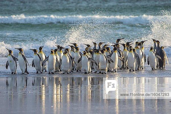 Königspinguine (Aptenodytes patagonicus)  Gruppe am Strand  Volunteer Point  Falkland Inseln  Grossbritannien