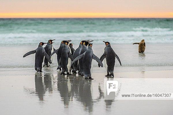 Königspinguine (Aptenodytes patagonicus) am Strand im Morgenlicht  Volunteer Point  Falkland Inseln