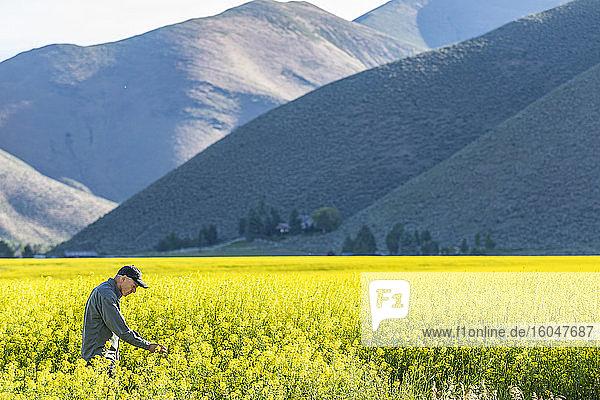 USA  Landwirt untersucht Senfpflanze