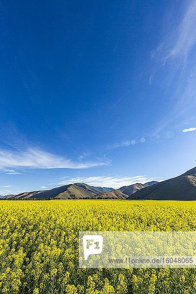 USA  Idaho  Sun Valley  Senffeld mit Hügeln dahinter