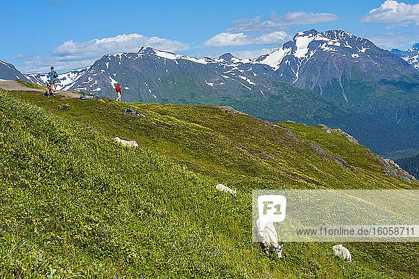 Touristen beobachten an einem Aussichtspunkt auf dem Harding Icefield Trail im Kenai Fjords National Park eine Gruppe von Bergziegen (Oreamnos americanus) an einem sonnigen Sommertag im süd-zentralen Alaska; Alaska  Vereinigte Staaten von Amerika