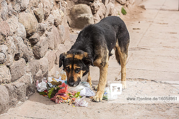 A dog stands by a ripped open garbage bag with refuse on the ground and has a guilty look; Otavalo  Imbabura  Ecuador