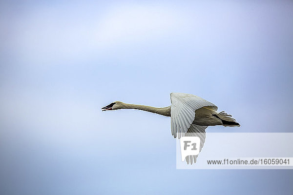 A trumpeter swan (Cygnus buccinator) in flight glides by overhead. Trumpeter swans are gathering along the Mississippi River in Monticello  Minnesota in late February and will soon spread out and start nesting; Monticello  Minnesota  United States of America