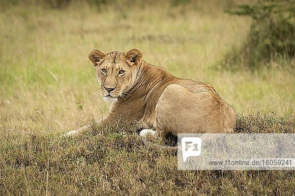 Lioness (Panthera leo) lies on low mound eyeing camera  Serengeti National Park; Tanzania