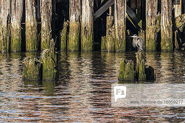 A Great Blue Heron (Ardea herodias) rests on old pilings on the Astoria Riverfront in Oregon; Astoria  Oregon  United States of America