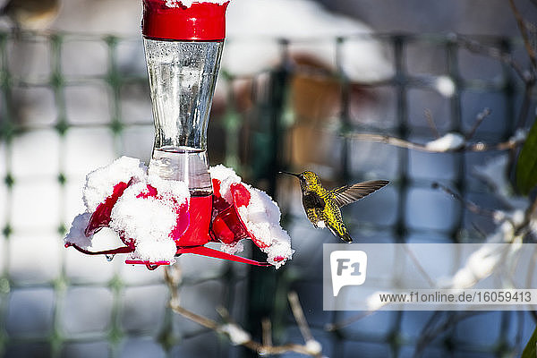 A hummingbird hovering beside a snow-covered feeder; Washington  United States of America