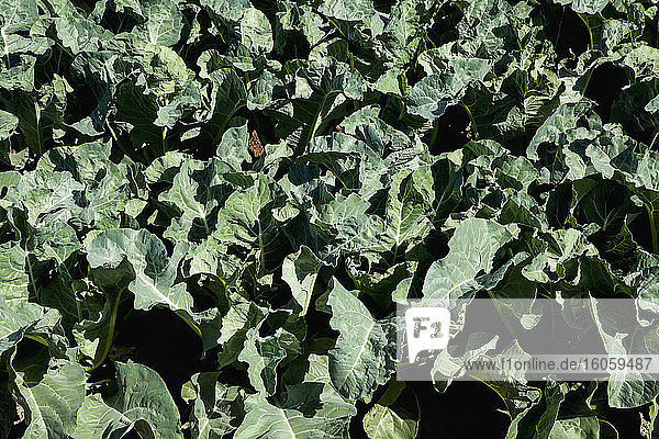 Close-up view of healthy mid-growth broccoli plants  Dome Valley  near Yuma; Arizona  United States of America