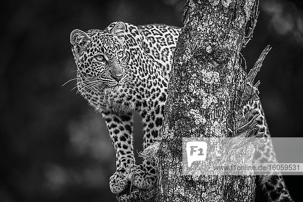 A leopard (Panthera pardus) stands in a tree that is covered in lichen. It has black spots on its brown fur coat and is turning its head to look up. Shot with a Nikon D850 in the Masai Mara; Kenya