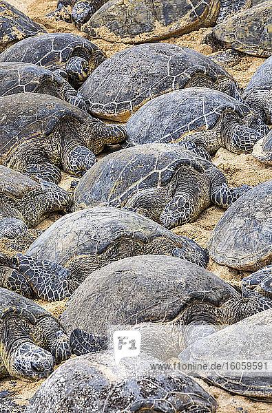 Numerous Green sea turtles (Chelonia mydas) sleeping on the sand on the beach; Kihei  Maui  Hawaii  United States of America