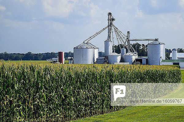 Field of maturing  tasseled corn plants with grain bins and farm structures beyond  near Germantown; Ohio  United States of America
