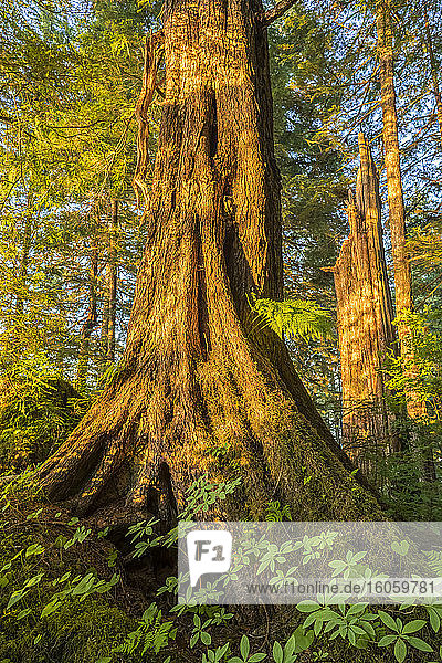 Old growth forest with Sitka spruce (Picea sitchensis) and hemlock (Tsuga)  Tongass National Forest  Southeast Alaska; Alaska  United States of America