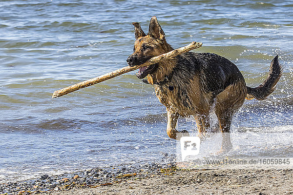 German shepherd running on the seashore with a wooden stick in the mouth; Sainte-Anne-des-Monts  Quebec  Canada