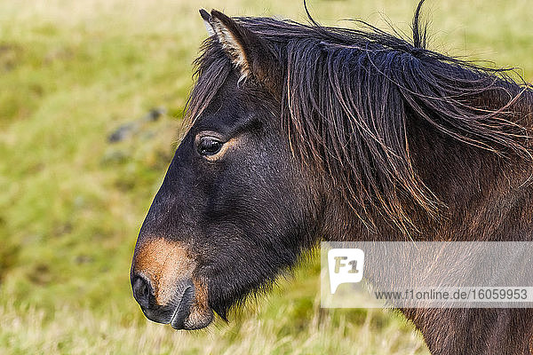 Close-up of the head and mane of a brown horse (Equus caballus); Hornafjorour  Eastern Region  Iceland