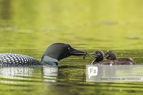Adult common loon (Gavia immer) in breeding plumage feeding a chick a dragonfly  La Mauricie National Park; Quebec  Canada