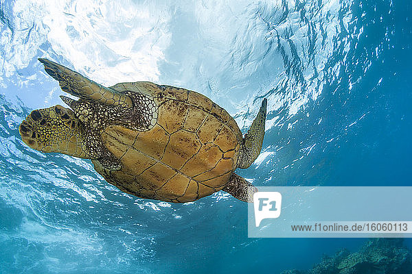 An underwater view of a Hawaiian Green Sea Turtle (Chelonia mydas); Makena  Maui  Hawaii  United States of America