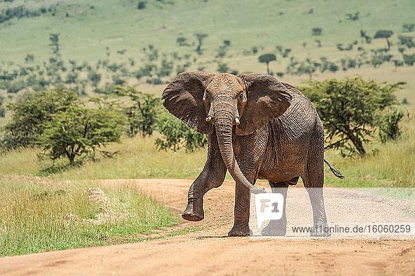 African bush elephant (Loxodonta africana) looking at camera and lifting foot while walking across dirt road; Tanzania