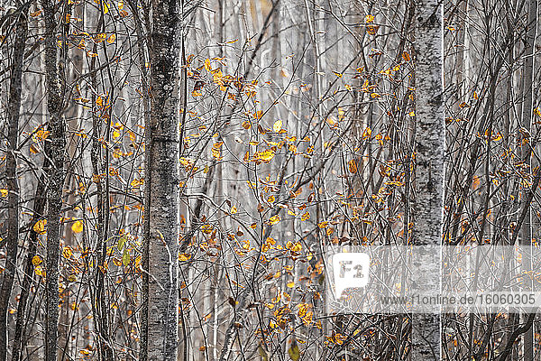 Last of the leaves on the trees in a forest in autumn; Thunder Bay  Ontario  Canada