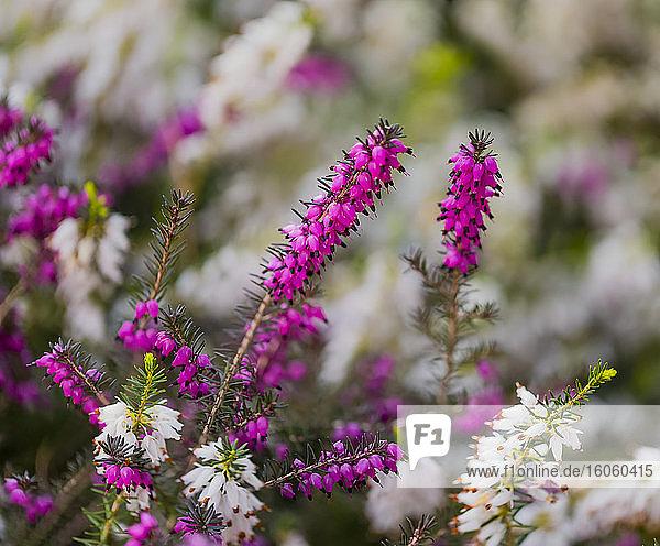 Flowering Heather plant; British Columbia  Canada