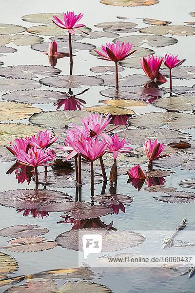 Blühende Fuchsien-Lotus (Nelumbo)-Pflanzen  Red Lotus Sea  Nong Han See; Thailand