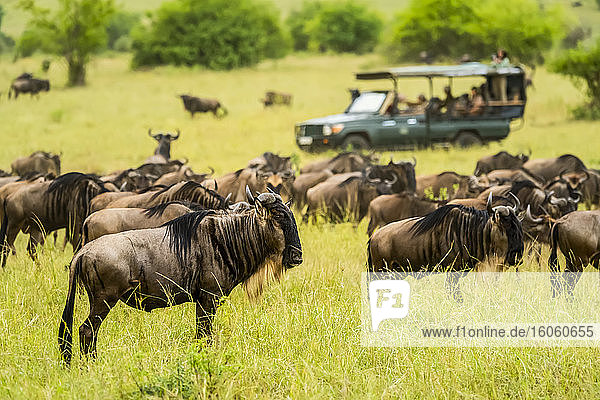 Herd of blue wildebeests (Connochaetes taurinus) grazing on the savanna while tourists in truck on safari take pictures; Kenya