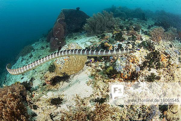 Venomous Banded yellow-lipped sea snake (Laticauda colubrina)  also known as a sea krait; Philippines