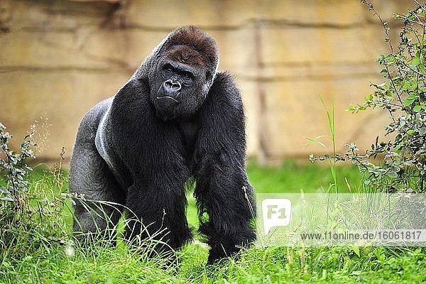 Westlicher Flachlandgorilla (Gorilla gorilla gorilla)  adultes Männchen steht im Gras  captive