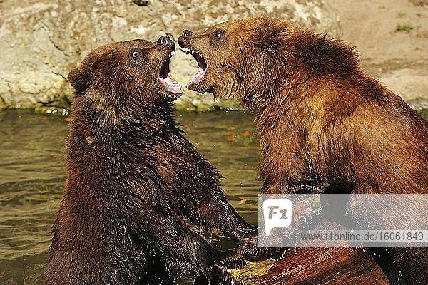 Zwei Braunbären (Ursus arctos)  Jungtiere  spielerischer Kampf im Wasser  captive