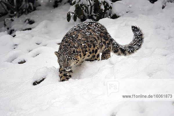 Schneeleopard (Panthera uncia)  captive  auf der Pirsch im Schnee  Vorkommen Himalaya  Pamir  Hindukusch  Altaj  Nepal  Indien  Tibet  Rußland  Asien