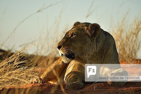 Löwin (Panthera leo)  Weibchen ruht auf einer grasbewachsenen Kalahari Düne im Abendlicht  Kalahari  Namibia  Afrika